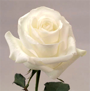 BLIZZARD WHITE ROSES Wholesale white premium roses VIP white roses long stem, long vase life for your special occasion... Special package for wedding, bridal bouquets, receptions,... Blizzard white roses, Anastasia white roses, Akito white roses, Tineke roses... Rose Connection Inc. Los Angeles California offers the most fresh white flowers in USA and Canada, wholesale roses to florist shop at wholesale prices Fedex Free delivery included